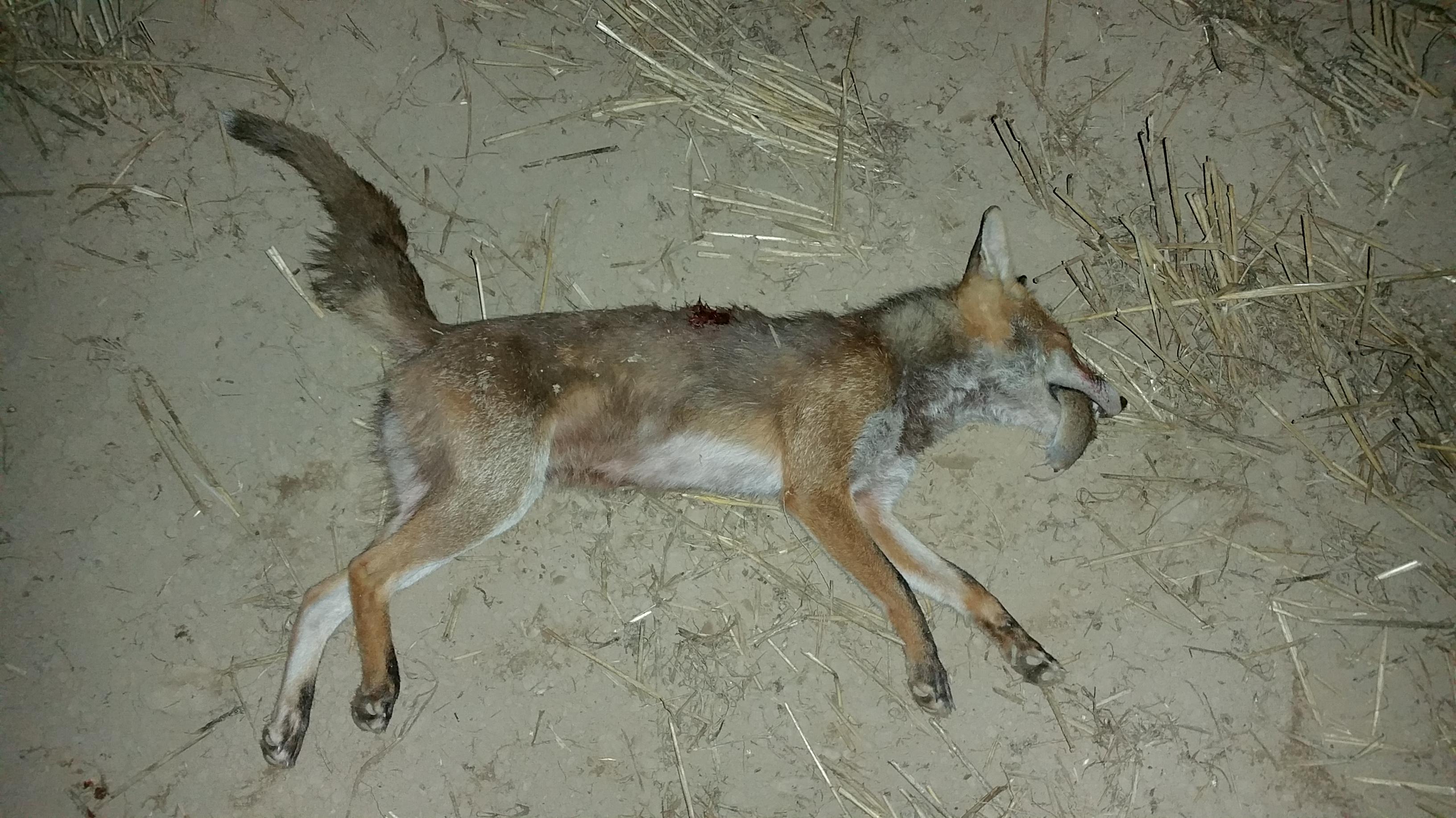 Fuchs mit Maus im Fang
